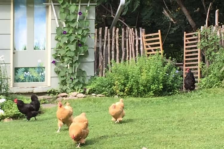 Chickens flock from the pen