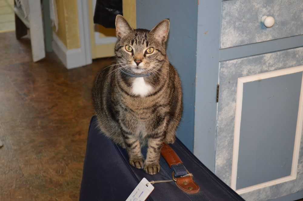 """That's my cat Luvy. """"What's with the suitcase,"""" he's asking. He knows..."""